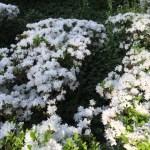 白花のツツジ(ヒラドツツジ?)の咲いている様子