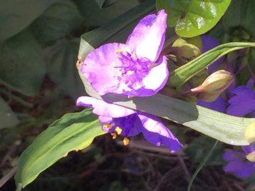 ムラサキツユクサ 花のアップ