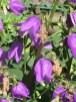 ホタルブクロ 花のアップ