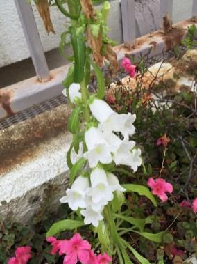 フウリンソウ 白い花