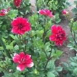 ダリアの花の姿