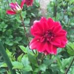 ダリアの花 アップ