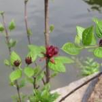 クロバナロウバイ 花の姿