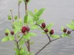 Strawberry shrub/ クロバナロウバイ