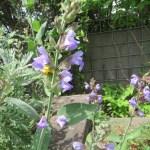 コモンセージ 花のアップ
