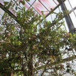 Feijoa/ フェイジョア 木の姿