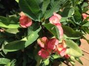 Christ plant/ハナキリン 花のアップ