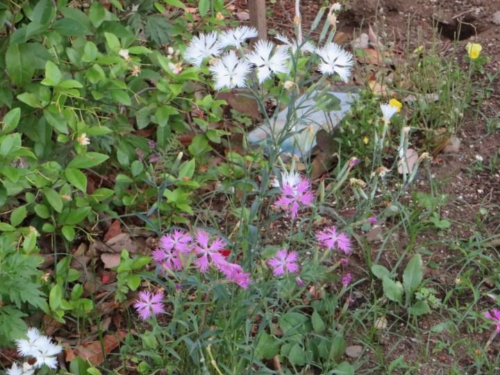 ナデシコの花の姿