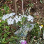 ナデシコ 白花