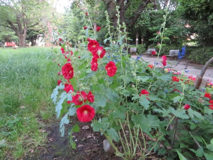 赤い花のタチアオイ 植物全景