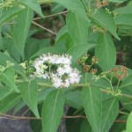 Japanese Beautyberry; white flower/ シロシキブ