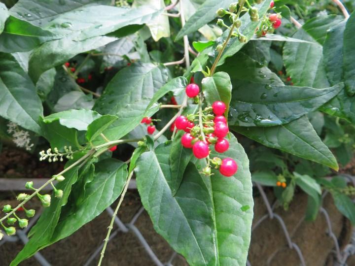 ジュズサンゴの赤い実