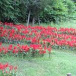 サルビアの花壇