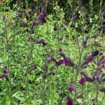 Salvia microphylla 'Johannisbeer' チェリーセージ