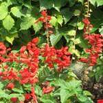 サルビア Scarlet sage 花の姿