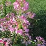セイヨウフウチョウソウ 花のアップ