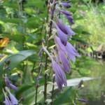 ギボウシ 花のアップ