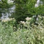 フジバカマの花と植物の姿