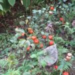 ホオズキ 植物の姿