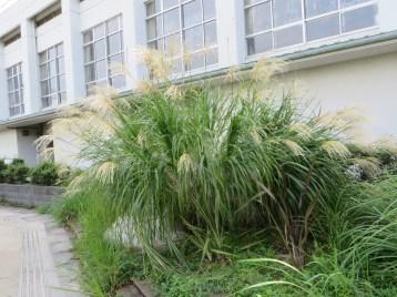 ススキの草の姿