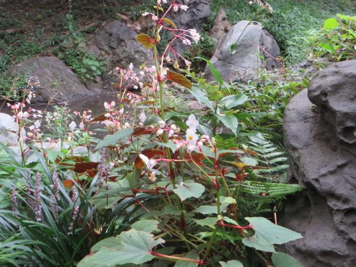 シュウカイドウ 植物の全景