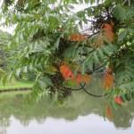 ハゼノキの枝の様子