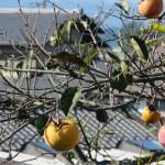 熟した柿の実