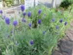 Fernleaf lavender/ ファーンリーフ・ラベンダー