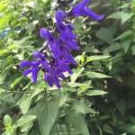 サルビア・グアラニティカの花のアップ