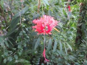Fringed Hibiscus/ フウリンブッソウゲ