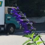 サルビア・グアラニティカの花の姿
