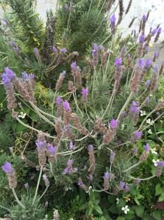 フリンジドラベンダーの花のアップ
