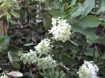 アメリカリョウブ 花の姿