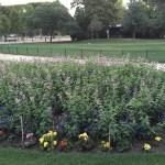 公園のセージの花壇