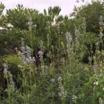 ボックセージの花の姿