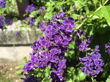 タイワンレンギョウの花