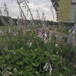ギボウシの群落