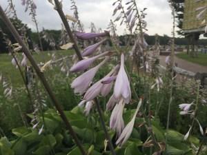 ギボウシ花のアップ