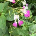 Salvia x jamensis ?サルビア・ヤメンシス