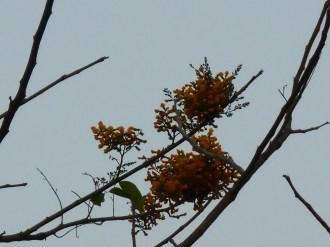 カリン(インドカリン)の花