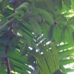 Arabian coffee tree アラビアコーヒー