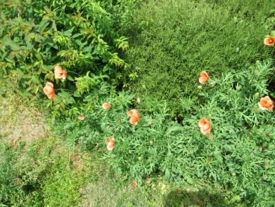 Long-headed poppy/ナガミヒナゲシ