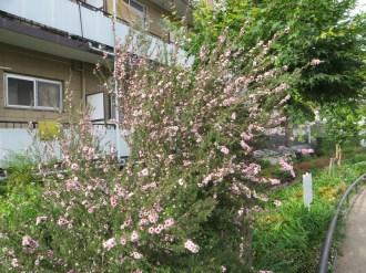 ギョリュウバイ 花が咲く植物の姿