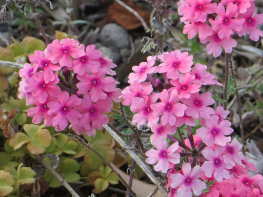 バーベナ 花の姿