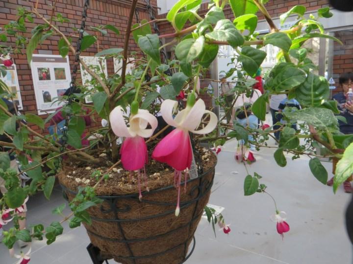 Fuchsia Joy Patmore 品種 ジョイパットモア