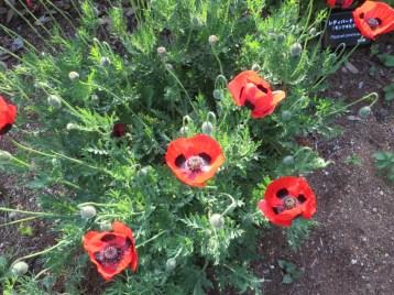 Ladybird poppy/ モンツキヒナゲシ
