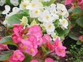 ベゴニア 花のアップ