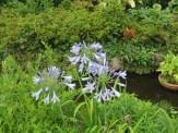 アガパンサス まだ若い花の様子