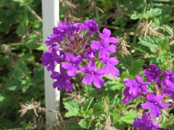 紫色の花のバーベナ