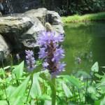 ナガバミズアオイ花のアップ